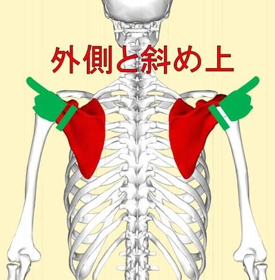 肩甲骨2.jpg