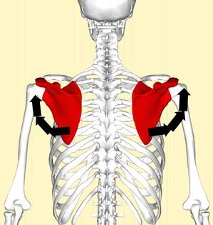肩甲骨3.jpg