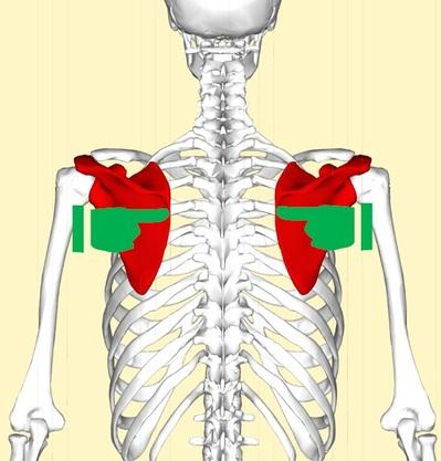 肩甲骨6.jpg