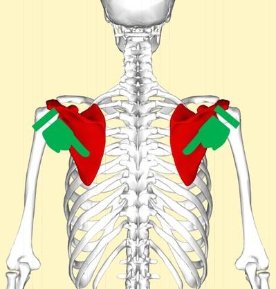 肩甲骨5.jpg
